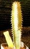 Euph_canariensis