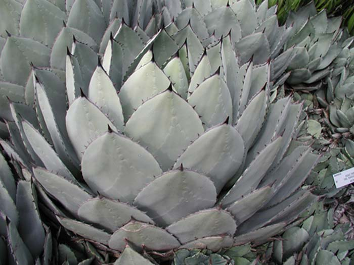 Agave-parryi-huachucensi